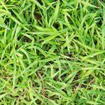 nimblewill grass weed