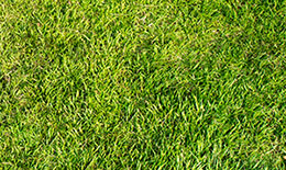 wire grass weed