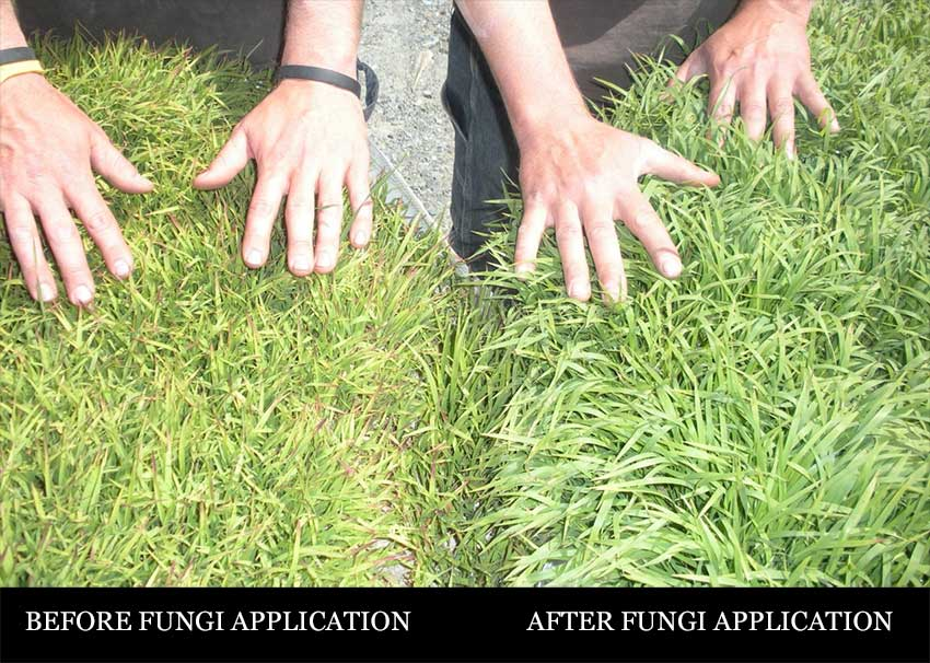 before and after mycorrihzal fungi application