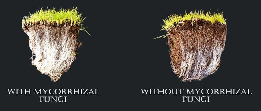 mycorrhizal fungi application
