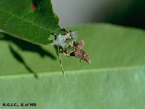 bagworm catepillar