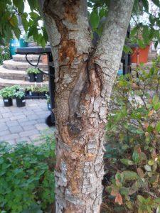 dogwood borer damage